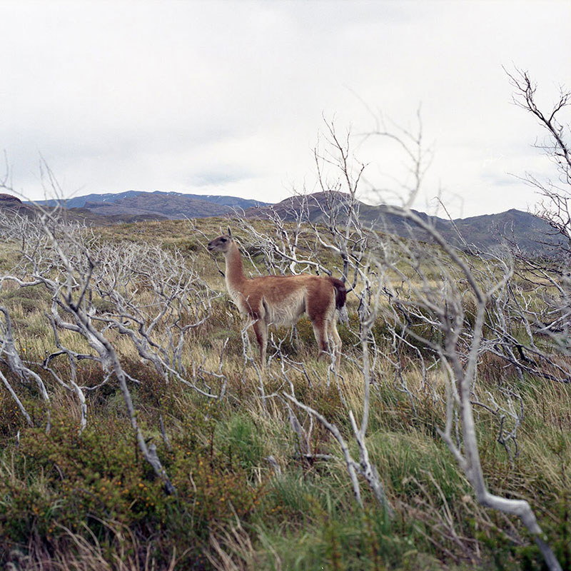 A Guanaco in Torres del Paine, Chile| Credit: John Lepak