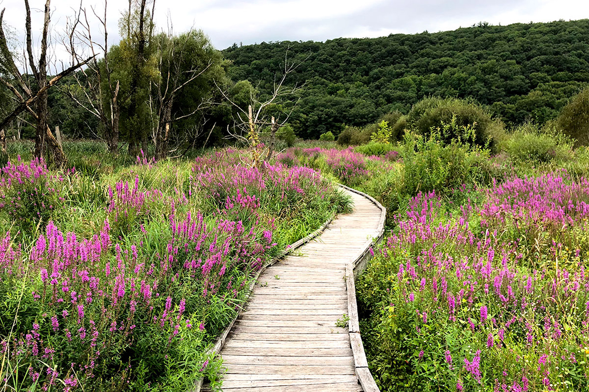 The Swamp River Boardwalk on the Appalachian Trail in Pawling, NY.   Credit: John Lepak